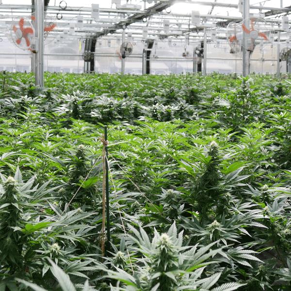 Comment réussir son projet cannabis?